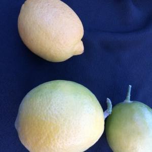 やっと収穫できたレモン