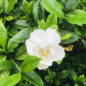 ハイビスカス・クチナシ・ゴーヤの花