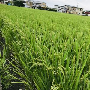 稲の実入り