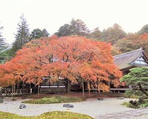 雷山の大楓