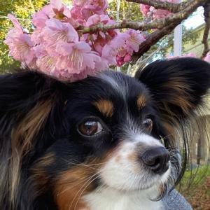 早咲き桜の散歩道