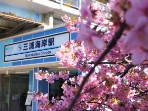 河津桜が満開でした♪