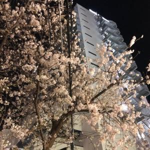 桜が満開になりそうです