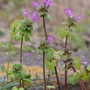 野の花・ホトケノザ