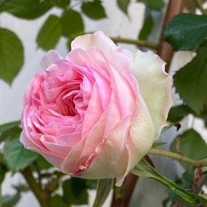 一番薔薇が咲きました