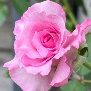2番薔薇& 引き続き応援♩