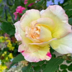 「植育」のこれからと、バラの開花♩