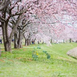 見ごろ間近の安行寒桜