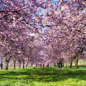 白い山並みと安行寒桜