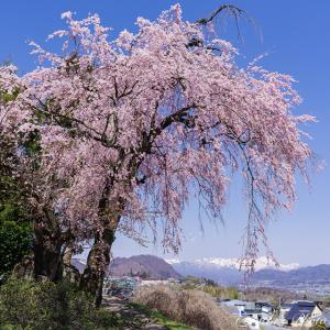 残雪の谷川岳と下川田しだれ桜