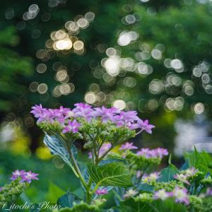 バブルボケと色付く紫陽花