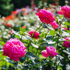 OLD LENSで撮る薔薇の花と玉ボケ