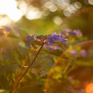 夕陽とオールドレンズで撮る紫陽花