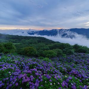 早朝の美の山公園 紫陽花