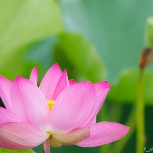 伊佐沼 蓮の花