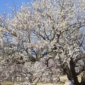 早咲き梅見頃の 武蔵丘陵森林公園梅林