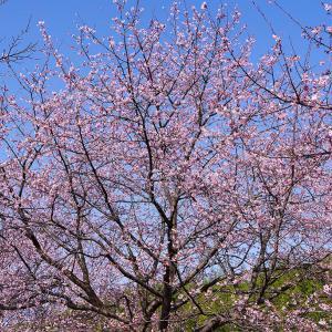 北浅羽桜堤の安行寒桜