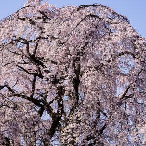 川越市 中院枝垂れ桜の昼と夜