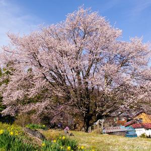 片品村 針山の天王桜