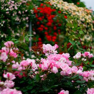 平成の森公園 バラの小径