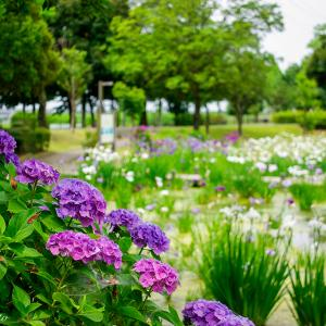 平成の森公園 アジサイと花菖蒲
