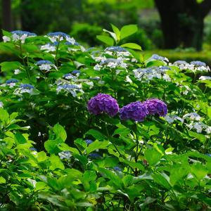 智光山公園のアジサイ