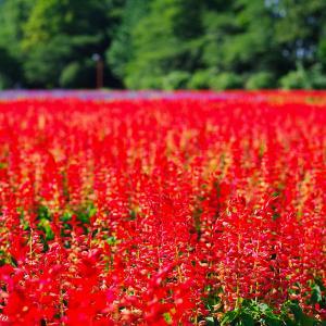 大宮花の丘公苑 サルビア
