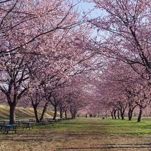 オールドレンズで撮る安行寒桜