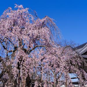花冷え翌朝のしだれ桜