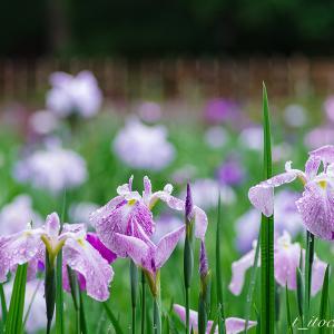 雨の合間の花菖蒲園