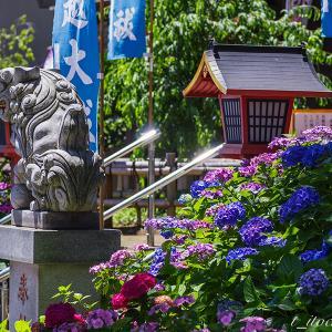 川越八幡宮と喜多院の紫陽花