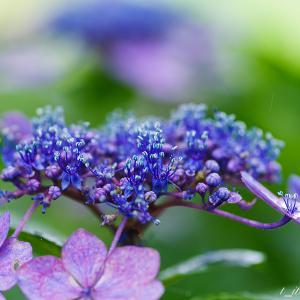 雨に映える権現堂 紫陽花