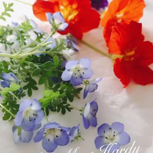 ネモフィラの押し花
