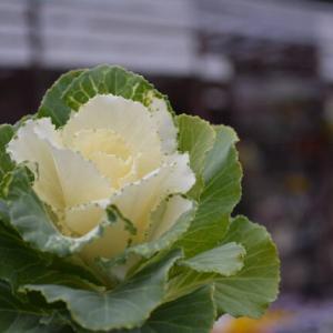 葉ボタン フレアホワイト&本日の入荷植物