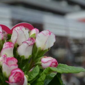 バラ咲ジュリアン ラブ&今日暖かくて朝から灌水