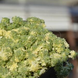 セダム ミルクゥージ&入荷植物