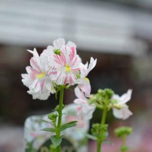 ネメシア フェアリーマーブルピンク&今日は雨模様の日曜日