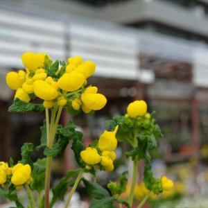 カルセオラリア ミダス&多肉植物の移動