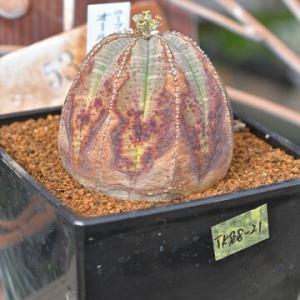 オールド オベサ&入荷植物