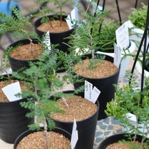 オペルクリカリア パキプス&今日もレアな多肉植物が・・・