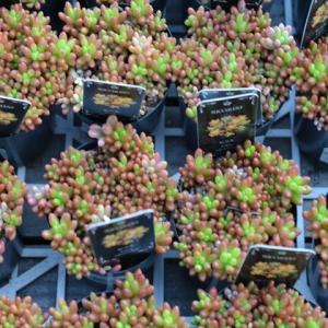 セダム・虹の玉&入荷植物