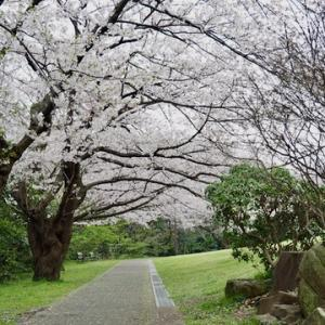 卯月初日...山頂公園と本牧通りの桜