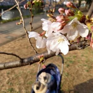 桜とパグs