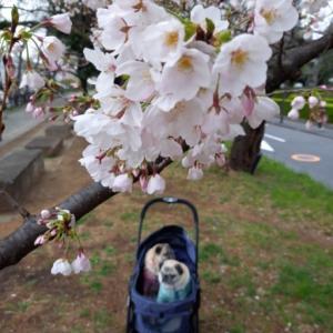 桜とパグs その2