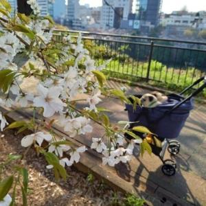 桜とパグs その3