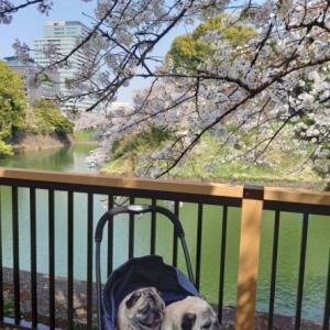 桜とパグs 千鳥ヶ淵緑道