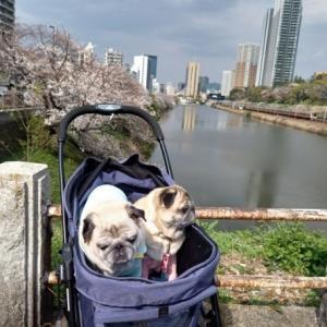 桜とパグs 新見附橋