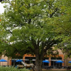 ピーカンの木