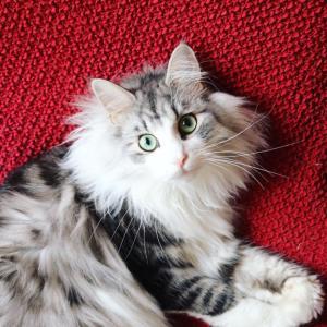 FIP猫腹膜炎にかかっても希望は捨てない!
