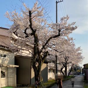 いつの間にか桜も満開!